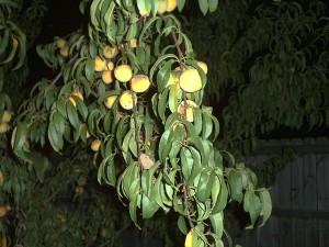 Nicole's peach tree, bearing fruit.
